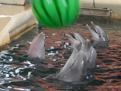 Dolphins tossing a ball